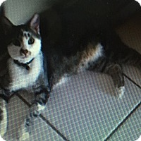 Domestic Shorthair Cat for adoption in Chandler, Arizona - Cooper