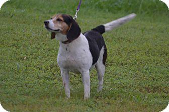 Beagle Mix Dog for adoption in Lebanon, Missouri - Betsy