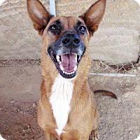 Adopt A Pet :: Champ - San Tan Valley, AZ