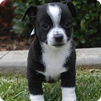 Adopt A Pet :: Carl - La Habra Heights, CA