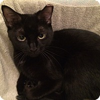 Domestic Shorthair Cat for adoption in Toronto, Ontario - Alice