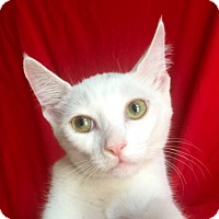 Domestic Shorthair Kitten for adoption in Irvine, California - DONATELLO