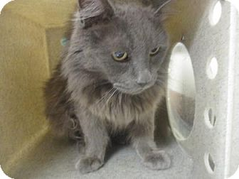 Domestic Longhair Cat for adoption in Reno, Nevada - LACY