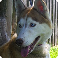 Siberian Husky Dog for adoption in Orange Park, Florida - NIKITA