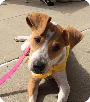 Terrier (Unknown Type, Medium)/Basenji Mix Dog for adoption in Rockville, Maryland - Jet
