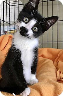 Domestic Shorthair Kitten for adoption in Island Park, New York - Herbert