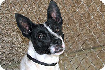 Blue Heeler Mix Dog for adoption in Ruidoso, New Mexico - Peanut