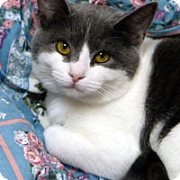 Domestic Shorthair Cat for adoption in Mason, Michigan - Autumn