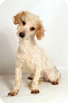 Poodle (Miniature) Mix Dog for adoption in St. Louis, Missouri - Simon Poodle