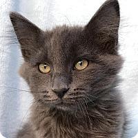 Russian Blue Kitten for adoption in La Jolla, California - Huckleberry