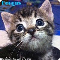 Adopt A Pet :: Fergus - Playful! - Huntsville, ON