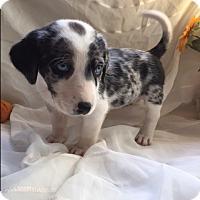 Adopt A Pet :: Almond (ETAA) - Spring Valley, NY