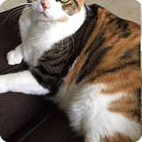 Calico Cat for adoption in Oakland Park, Florida - Zoey