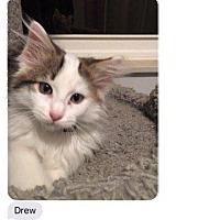 Adopt A Pet :: Drew - Valley Park, MO