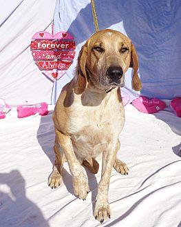 Hound (Unknown Type)/Labrador Retriever Mix Dog for adoption in West Chicago, Illinois - Especial