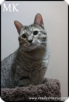 Domestic Shorthair Cat for adoption in Rockwall, Texas - M.K.