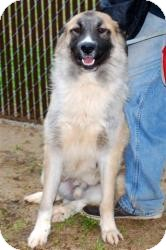 Anatolian Shepherd Mix Dog for adoption in New Boston, New Hampshire - Bear