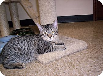 Domestic Shorthair Kitten for adoption in Pineville, North Carolina - Teddy
