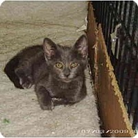 Domestic Shorthair Cat for adoption in Stuarts Draft, Virginia - Ash