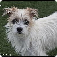 Adopt A Pet :: Star - Rockwall, TX