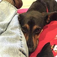 Adopt A Pet :: Nimoy - Decatur, GA