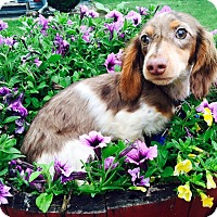 Adopt A Pet :: Ralphie - Marcellus, MI
