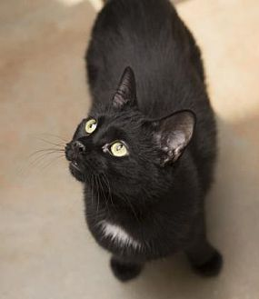 Domestic Shorthair Cat for adoption in Denver, Colorado - Squeaker