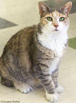 Calico Cat for adoption in St Louis, Missouri - Linda
