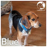 Adopt A Pet :: Blue - Pittsburgh, PA