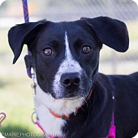 Adopt A Pet :: Stella Bella - Grand Rapids, MI