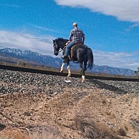 Tennessee Walking Horse for adoption in Phelan, California - Black Jack (aka FLASH)
