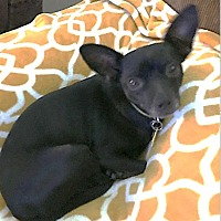 Chihuahua Mix Dog for adoption in Cat Spring, Texas - Rigsby