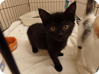 Domestic Shorthair Kitten for adoption in Crown Point, Indiana - Boots