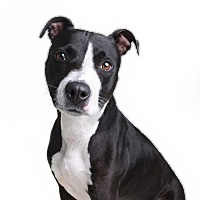 Adopt A Pet :: Dutchess - Wilmington, DE