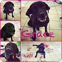 Rottweiler/Labrador Retriever Mix Dog for adoption in Steger, Illinois - Grace