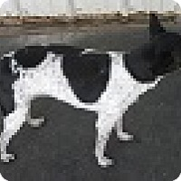 Rat Terrier Dog for adoption in Dodge City, Kansas - Katie