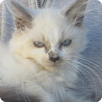 Siamese Kitten for adoption in Germantown, Maryland - Anniah