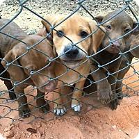 Adopt A Pet :: 9 Lab mixes - Melrose, FL