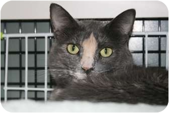 Domestic Shorthair Cat for adoption in Frederick, Maryland - Princess Kitty