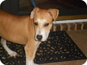 Hound (Unknown Type)/Boxer Mix Dog for adoption in Raleigh, North Carolina - ANDY