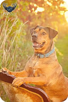 American Pit Bull Terrier/Rottweiler Mix Dog for adoption in Marion, Wisconsin - Sammy