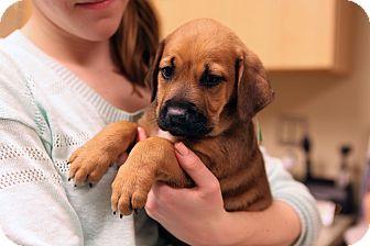 Labrador Retriever Mix Puppy for adoption in Richmond, Virginia - Lavender