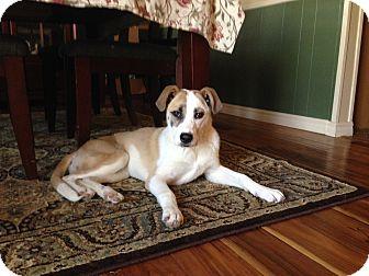 Joonbug Adopted | Adopted Puppy | Tulsa, OK | Anatolian ...