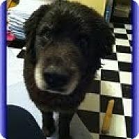 Adopt A Pet :: Moose Man (Urgent) $150 off - Brattleboro, VT