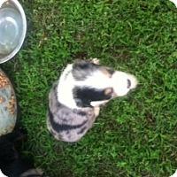 Adopt A Pet :: Amazin - Lexington, TN