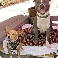Adopt A Pet :: Billy - San Jose, CA
