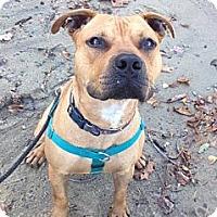 Adopt A Pet :: Pecan - Woodbridge, CT
