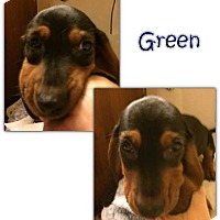 Adopt A Pet :: Green - Marietta, GA