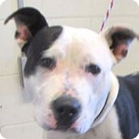 Adopt A Pet :: ROMAN - Red Bluff, CA