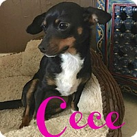 Adopt A Pet :: CeCe (Courtesy Listing) - Scottsdale, AZ